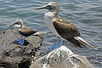 America, Galapagos Island, bird, Blue-footed Booby, Sula Seabird, sitting at a rock at the sea on  Ecuador, bird ( Sula nebouxii )