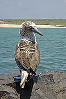 America, Galapagos Island, bird, Blue-footed Booby, Sula Seabird, sitting at a rock at the sea on  Ecuador ( Sula nebouxii )