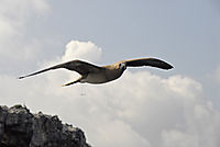 America, Galapagos, Blue-footed Booby, Sula Seabird, bird ist flying over the rocks, Galapagos Island, Ecuador ( Sula nebouxii )