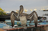 America, Ecuador, Galapagos, Galapagos Archipel, Islands, Santa Cruz, Pelican, Pelican is sitting at the harbour ( Pelecanidae, Pelecanus )