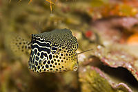 Reticulate boxfish, Solor boxfish, Philippines, Dimakya Island, Coron Bay, Busuanga, Club Paradise, Housereef, face to face, head, portrait, open mouth ( Ostracion solorensis )