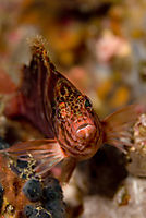 Philippines, pacific ocean, Gato Island, Malapascua Island, Spotted hawkfish, hawkfish, face, red, orange, colorfull, colors ( Cirrhitichthys oxycephalus )