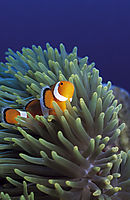 Philippines, pacific ocean, Gato Island, Malapascua Island, Western clownfish, clownfish, Anemonefish, pacific ocean, blue water, background, green anemone ( Amphiprion ocellaris, )
