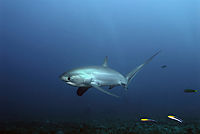 treshershark, threshershark, shark, Whiptail shark, Elephant shark, Sailfish shark, deepblue, blue ocean, open sea, long fin, tailfin, caudal ( alopias pelagicus, )