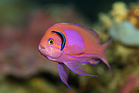 Philippines, pacific ocean, Gato Island, Malapascua Island,  Mirror basslet, basslet fish, purple, orange, red, colorful, cleanerfish, cleaning station, clean ( Pseudanthias pleurotaenia )