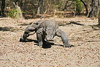 Indonesia, Rinca Island, Komodo dragon, face to face, animals ( Varanus komodoensis, Varanidae )