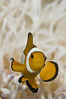 reeffish, reef fish, western clownfish, Anemonefish, white Anemone, orange Anemonefish, Nemo, Nemofish, Indonesia, Komodo, Rinca, Island, Flores, Cannibal Rock ( Amphiprion ocellaris )
