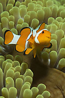 reeffish, reef fish, western clownfish, Anemonefish, green Anemone, orange Anemonefish, Nemo, Nemofish, Indonesia, Komodo, Rinca, Island, Flores, Cannibal Rock ( Amphiprion ocellaris )