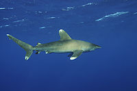 pelagic oceanic white-tip shark at the open sea,  Daedalus Reef, Egypt, Marine National Parks Egypt, underneath, beneath, top down, bottom view, above, Longimanus, Oceanic white-tip shark, blue, open ocean, hunter, predator ( Carcharhinus longimanus )