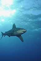 pelagic oceanic white-tip shark at the open sea,  Daedalus Reef, Egypt, Marine National Parks Egypt, underneath, below, beneath, top down, bottom view, above, Longimanus, Oceanic white-tip shark, blue, open ocean, hunter, predator ( Carcharhinus longimanus )