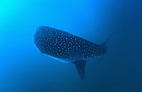 Asia, Republic of Maldives, South Ari Atoll, Whale shark coming from the deep, Outer reef, blue ocean, deepblue, plankton eater, open sea ( Rhincodon typus, Rhincodontidae )