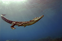 swimming Saltwater crocodile underneath the surface, sunlight, sunbeams, Koror Bay, Republic of Palau, saltie, saltwater crocodile, swimming crocodile ( Crocodylus porosus, Estuarine Crocodile, )