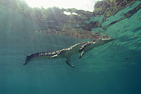 swimming Saltwater crocodile underneath the surface, landanimals, sunlight, sunbeams, Koror Bay, Republic of Palau, saltie, saltwater crocodile, swimming crocodile ( Crocodylus porosus, Estuarine Crocodile, )