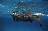 spinner dolphins nose, ascending to surface, below surface, blue, Delfine, Delphine, dolphin house, egypt, eye, face, long snouted dolphin, nose, red sea, shaab samadai, Spinner dolphins,underneath, water, waves ( stenella longirostris, Delphinidae )