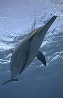 spinner dolphins nose, ascending to surface, below surface, blue, Delfine, Delphine, dolphin house, egypt, eye, face, long snouted dolphin, nose, red sea, shaab samadai, Spinner dolphin,underneath, water, waves ( stenella longirostris, Delphinidae )
