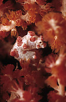 Pygmy Seahorse in a red fan gorgonian coral, Malaysia, Borneo, Mabul, Kapalai island, tiny, cosy, red, white ( Pygmy Bargibanti, Muricella plectana, Hippocampus bargibanti )