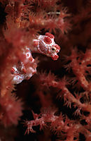 Pygmy Seahorse in a red fan gorgonian coral, Indonesia, Westpapua, Raja Ambat, tiny, cosy, red, white ( Pygmy Bargibanti, Muricella plectana, Hippocampus bargibanti, )