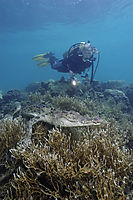 Asia, Saltwater crocodile resting on corals, landanimals, lies at the reef, coralreef, hardcoral, diver behind, with torch, diving, Koror Bay, Republic of Palau, saltie, saltwater crocodile, swimming crocodile ( Crocodylus porosus, Estuarine Crocodile, )
