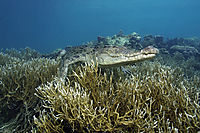 Asia, Saltwater crocodile resting on corals, landanimals, lies at the reef, coralreef, hardcoral, Koror Bay, Republic of Palau, saltie, saltwater crocodile, swimming crocodile ( Crocodylus porosus, Estuarine Crocodile, )