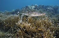 Asia, landanimals, Saltwater crocodile resting on corals, lie at the reef, coralreef, hardcoral, Koror Bay, Republic of Palau, saltie, saltwater crocodile, swimming crocodile ( Crocodylus porosus, Estuarine Crocodile, )
