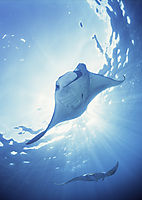 Sangalaki island, Kalimantan, Indonesia, Celebes sea, indopacific ocean, manta, rays, flying mantas, against sunlight, backlight, mantastation, two, devilray, face to face ( Manta birostris, Mobulinae, Myliobatdae )