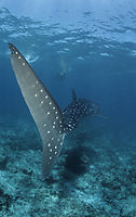 Asia, Whale shark from the back, tailfin, fin, backfin, South Ari Atoll, Republic of Maldives, Outer reef, blue ocean, deepblue, plankton eater, above the reef, shallow water ( Rhincodon typus, Rhincodontidae, )