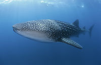 whaleshark at the blue at Tofo, Mozambique, indic ocean, Outerreef, biggest shark ( Rhincodon typus,  Rhincodontidae )