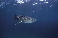 Asia, Whale shark, whaleshark, lateral, sidewise, edgewise, South Ari Atoll, Maldives, Outer reef, blue ocean, deepblue, plankton eater ( Rhincodon typus, Rhincodontidae, )
