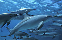 Ägypten, Aegypten, Rotes Meer, Shaab Samadai, Dolphine House,  Spinnerdelfine, Spinnerdelphine, Spinnerdelfine, Delphine, Delfine, Delfine in der Gruppe, Schule, Delfinschule ( stenella longirostris, Delphinidaeschooling spinner dolphins at shaab samadai, red sea, egypt, ascending to surface, below surface, blue, Delfine, Delphine, dolphin house,  eye, face, long snouted dolphin, nose, Spinner Dolphin, Stenella longirostris,  )