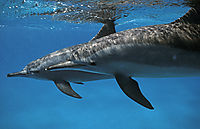 egypt, red sea, mother and child, spinner dolphins underneath the surface, shaab samadai, ascending to surface, below surface, blue, Delfine, Delphine, dolphin house,  eye, face, long snouted dolphin, nose, Spinner Dolphin ( stenella longirostris, Delphinidae )