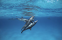 spinner dolphins having sex together, shaab samadai, red sea, egypt, ascending to surface, below surface, blue, Delfine, Delphine, dolphin house,  making babys, long snouted dolphin, nose, Spinner Dolphin, water ( stenella longirostris, Delphinidae )