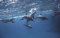 egypt, red sea,  snorkeller, snorkeler with a school of spinner dolphins at shaab samadai, ascending to surface, below surface, blue, Delfine, Delphine, dolphin house,  eye, face, long snouted dolphin, nose, Spinner Dolphin,  water, group, family, schooli ( stenella longirostris, Delphinidae )