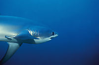 threshershark from the side, Malapascua, Philippines, Alopias vulpinus, Azotador, bigeye, Ca¡Ño raposa, coludo, Drescherhai, Elephant shark, gemeiner Fuchshai, Makrelenhaiartig, pelagic, Renard, Sailfish shark, shark, threshershark, thresher shark, Whipta