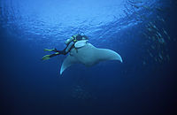 Asia, manta, mantaray, diver and manta collision, clash, crash, manta crashing into a diver, ray underneath the surface, late afternoon, Republic of Palau, pacific ocean, German Channel ( Manta birostris, Mobulidae )