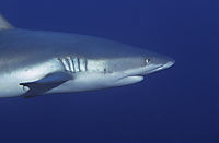 Asia, Republic of Palau, pacific ocean, Grey reefshark, grey reef shark at the deep blue, Blue corner, face, head, mouth ( Carcharhinus amblyrhynchos, Carcharhinidae )
