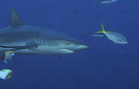 Asien, Grey reefshark in the blue current, Republic of Palau, Pacific Ocean, Micronesia, Peleliu corner, Peleliu Express, Blue corner, grey reef shark, shark, Carcharhinus amblyrhynchus,
