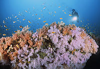 colors of the sea, diver above a colorful softcoralreef, Maldives, South Ari Atoll, Maalhoos reef, softcorals, coralreef, softcoral, softcoralreef, coralreef, pink, orange, yellow, red softcorals ( Dendronephthya klunzingeri, Nephtheidae, Alcyonacea )