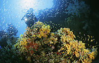 colors of the sea, diver at colorful softcoralreef bouquet, Maldives, Haa Alifu Atoll, Finey thila, softcoralreef, coralreef, softcoral, softcoralreef, coralreef, pink, orange, yellow, red softcorals, colorful softcoralreef, coralreef, pink, orange, yello ( Dendronephthya klunzingeri, Nephtheidae, Alcyonacea )