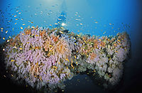 colors of the sea, diver above a coralreef, full of colorful softcorals, Maldives, South Ari Atoll, Maalhoos reef, softcoralreef, coralreef, softcoral, softcoralreef, coralreef, pink, orange, yellow, red softcorals ( Dendronephthya klunzingeri, Nephtheidae, Alcyonacea )