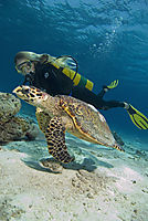 Hawksbill sea turtle guided by a diver i shallow water, Kuredu Island, Maagiri North, Lhaviyani Atoll, Republic of Maldives, Indic Ocean ( Eretmochelys imbricata, Cheloniidae )