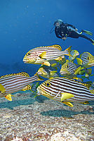 diver behind a group of oriental sweetlips in the current, Gan, Addu Atoll, Republic of Maldives, south Maldives, blue background, yellow fish, colorful fish ( Plectorhinchus vittatus, Plectorhinchus orientalis )