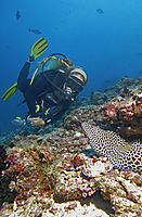 Republic of Maldives, Lhaviyani Atoll, Kuredu Island, diver with a Honeycomb moray eel in a hard coral reef, Laced moray, tesselate moray, looking out of her hole, Indic Ocean ( Gymnothorax favagineus, Muraenidae )