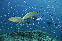 two divers protecting them self behind a coral block from the heavy current, swarming fish at the background, Lhaviyani Atoll, North Islands, Republic of Maldives, Indic Ocean