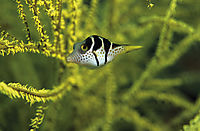 Asia, Thailand, Si Kao, Roc Island, juvenile saddled puffer fish, black coral ( Canthigaster valentini, Tetraodontidae )