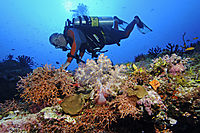 Asia, colors of the sea, diver at colorful softcoralreef bouquet, Maldives, South Male Atoll, Kandooma Thila, diver, diving, dive, against light, sunlight, softcoralreef, coralreef, softcoral, softcoralreef, coralreef, pink, orange, yellow, red softcorals ( Dendronephthya klunzingeri, Nephtheidae, Alcyonacea )