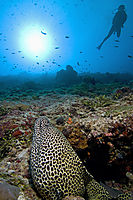 Asien, Republic of Maldives, island, Ari Atoll, Kandoma Island, diver with Honeycomb moray at Kandooma Corner, Channel, Thila, Indic Ocean, sunlight, against ( Gymnothorax favagineus )