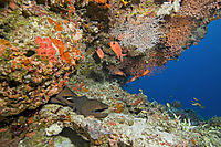 Asien, Republic of Maldives, island, Ari Atoll, Kandoma Island, diver with Giant moray eel at Kandooma Corner, Channel, Thila, Indic Ocean ( Gymnothorax javanicus )
