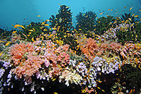 Asien, Republic of Maldives, island, Ari Atoll, Malhoos Thila, Maloos, Malhos, Anthias at the colorful coralreef, corals, coral, reef, softcoral, softcoralreef