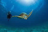 green turtle below the surface and diver behind