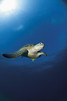 green turtle below the surface